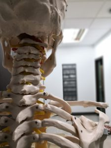 Rear view of a human skeleton, neck and shoulder